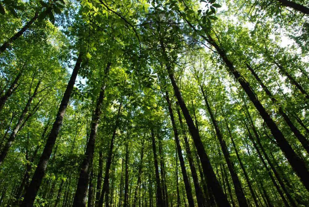 Copas de los árboles en el castañar de El Tiemblo