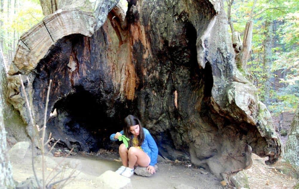 Troncos de árbol abiertos en el castañar
